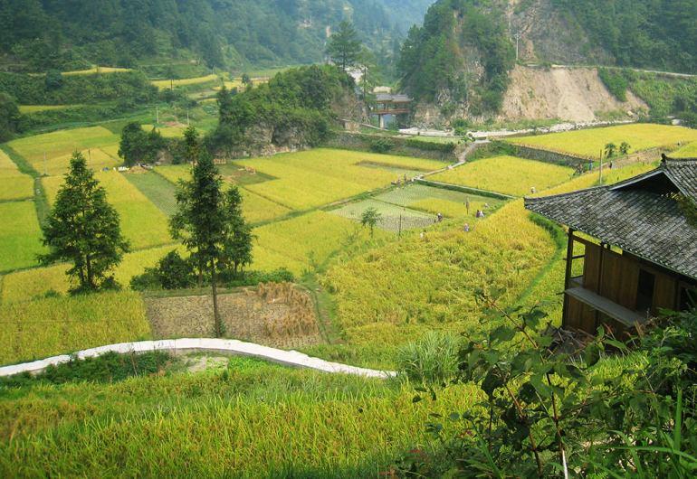 גידולי אורז בגווידז'ואו (צילום: שלי ברנשטיין)