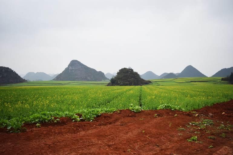 שדות צהובים בלואופינג (צילום: טל ניצן)