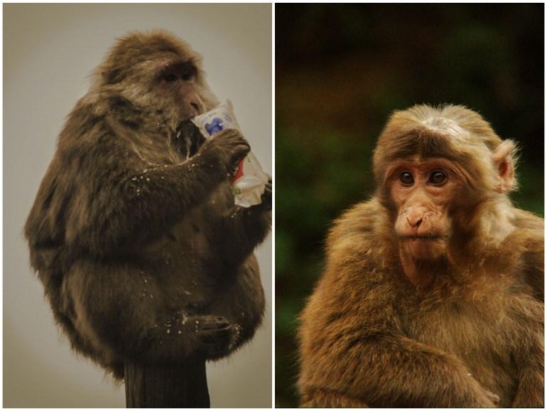 קופי המקוק היפים והשובבים (צילום מימין: אלה זומר, צילום משמאל: מיקי בלנגה)