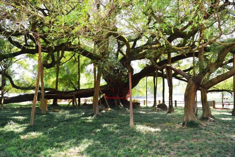 עץ הבניאן (צילום: טל ניצן)