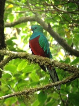 Seeing the extraordinary Quetzal was a definite highlight of my trip to the Costa Rican cloud forest at Monteverde.