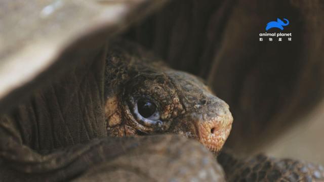 全球僅1隻!消失百年的巨陸龜奶奶在「人間地獄」裡再度被發現