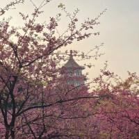 花況更新|賞櫻勝地櫻花盛開 淡水天元宮線上賞花中