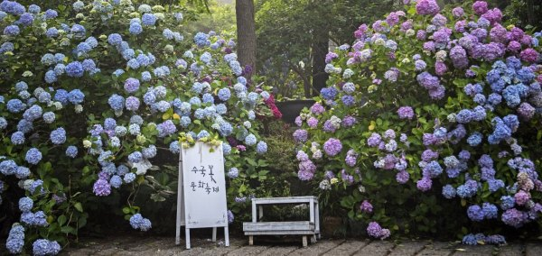 日韓旅遊,京都,藝伎,釜山,繡球花,線上體驗