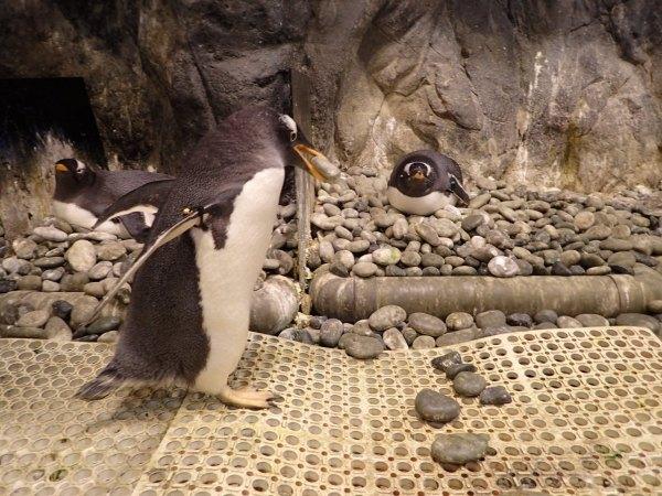 屏東海生館,企鵝家族,孵卵斑
