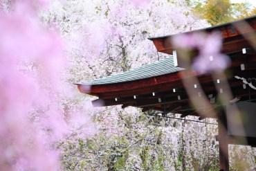 Hanami, japońskie Święto Kwitnienia Wiśni w Air France