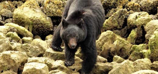 black bear canada wildlife british columbia