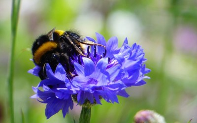 Summertime Bees and Blooms – A Wildflower Meadow in Hampshire