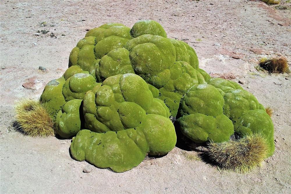 Yareta (llareta) plant in Eduardo Avaroa National Reserve Bolivia