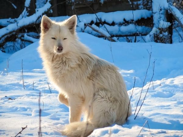 Cane husky bianco