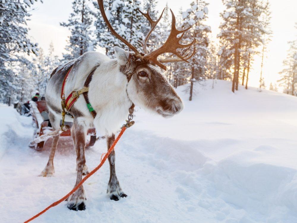 Una renna in Finlandia