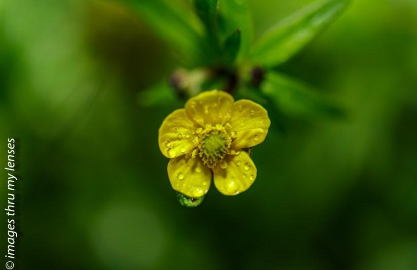 flowers of Himalayas