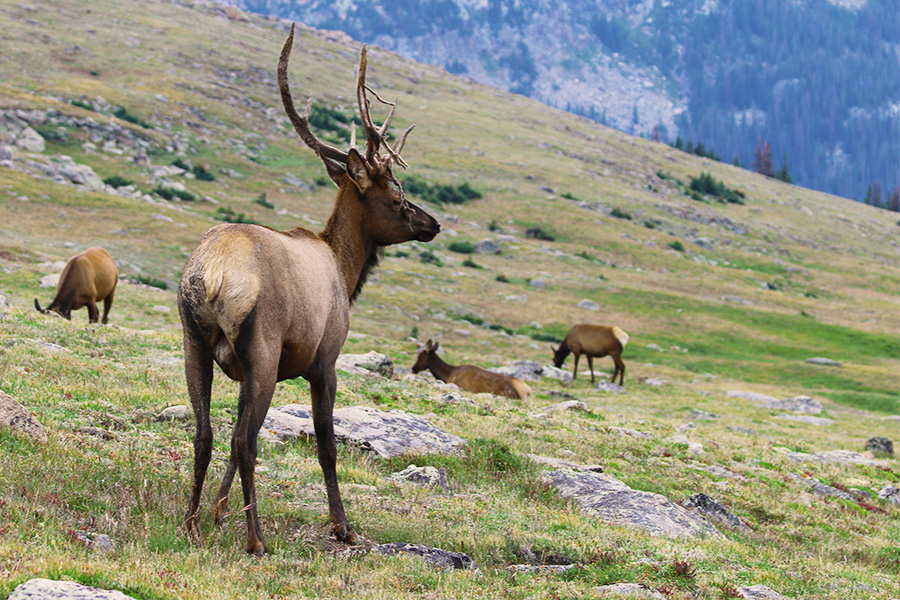 Elk in the Rocky Mountain National Park