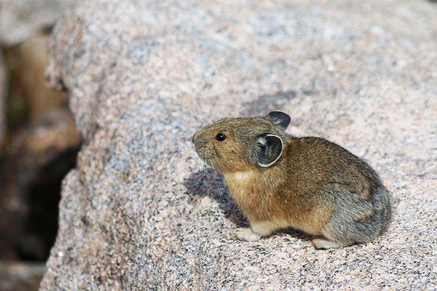 Wildlife in the Rockies - little pikas