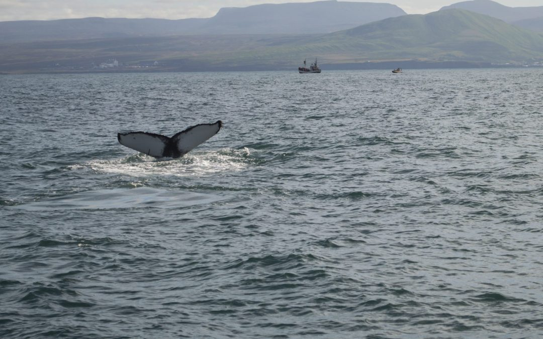 Iceland – Whale watching with Salka