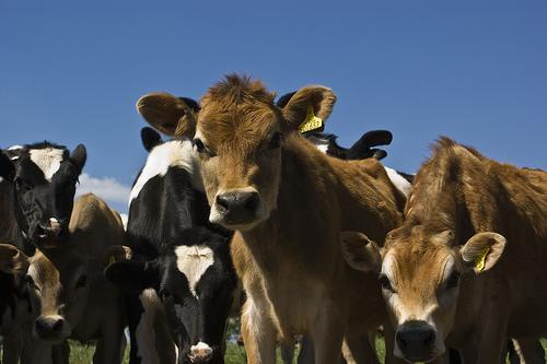 記録的大雨で避難勧告が出た鹿児島県十島村口之島は野生の牛が住む火山島!「牛は友。島民の財産」