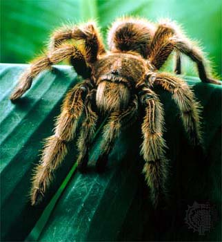 tarantula1 Wildlife Guatemala   8 Facts About The Tarantula