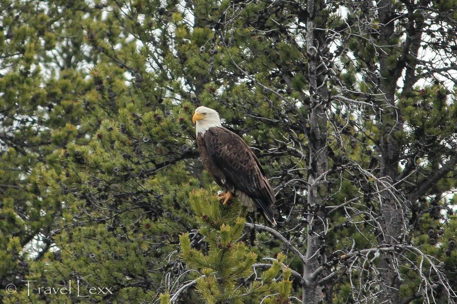 Bald Eagle - 8 Reasons You Should Visit Yellowstone National Park