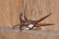 Bedroom furry spider