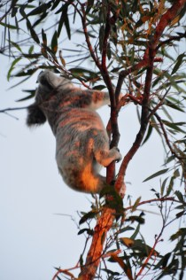 Koala at dusk
