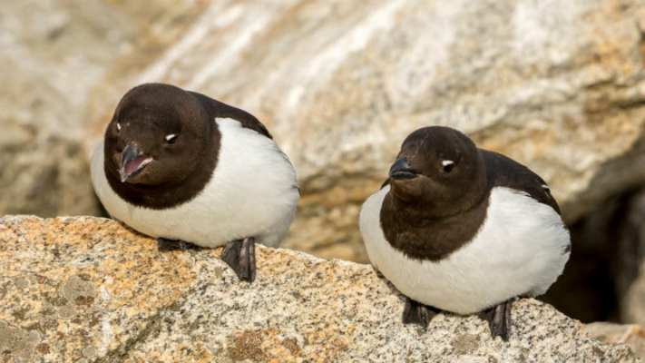Little auks are the meat in kiviak