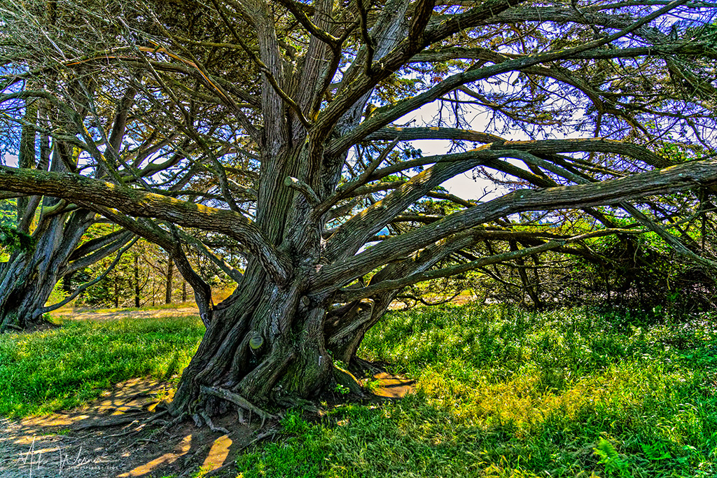Old tree in the Pointe-de-Guilben
