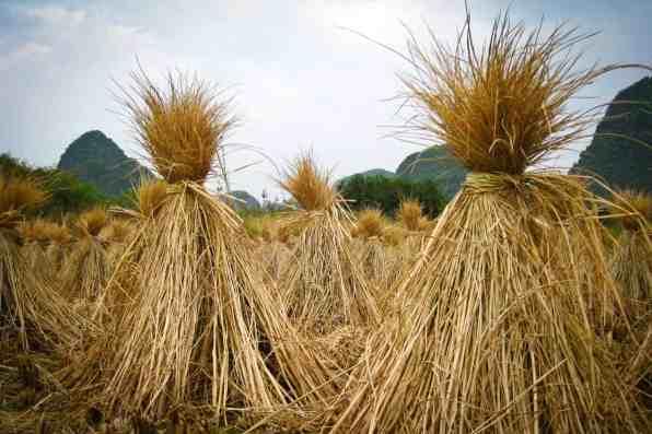 Rice Fields, Yulong River, China