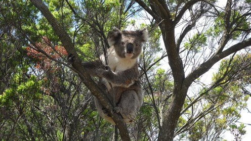 A posing koala, Otway National Park, Australia