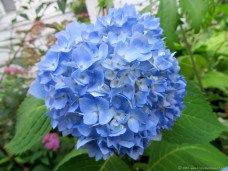 """Endless Summer"" Hydrangea (July)"