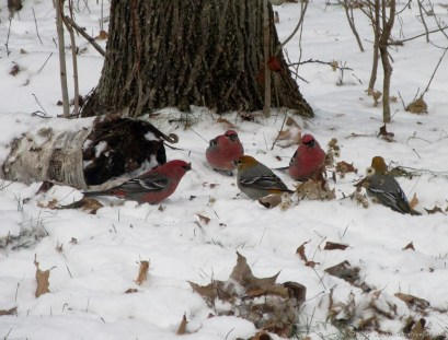 Pine Grosbeaks (November)