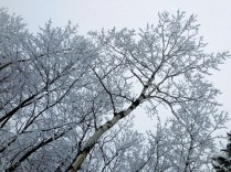 Snow-covered treetops