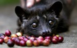 Kopi Luwak : The Most Expensive Coffee