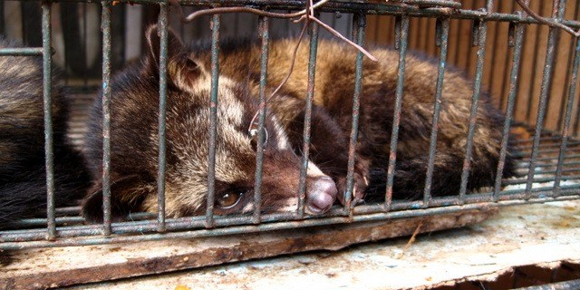 2-Luwak_(civet_cat)_in_cage