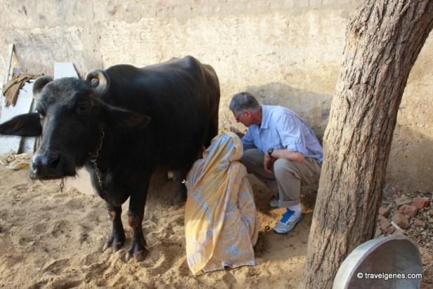 Buffalo Milking in rural tour