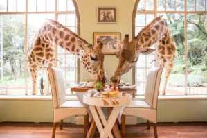 Want To Have Breakfast With Giraffes?