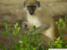 Green Monkey =)
