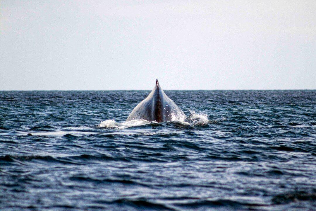 Temporada de ballenas Isla Gorgona