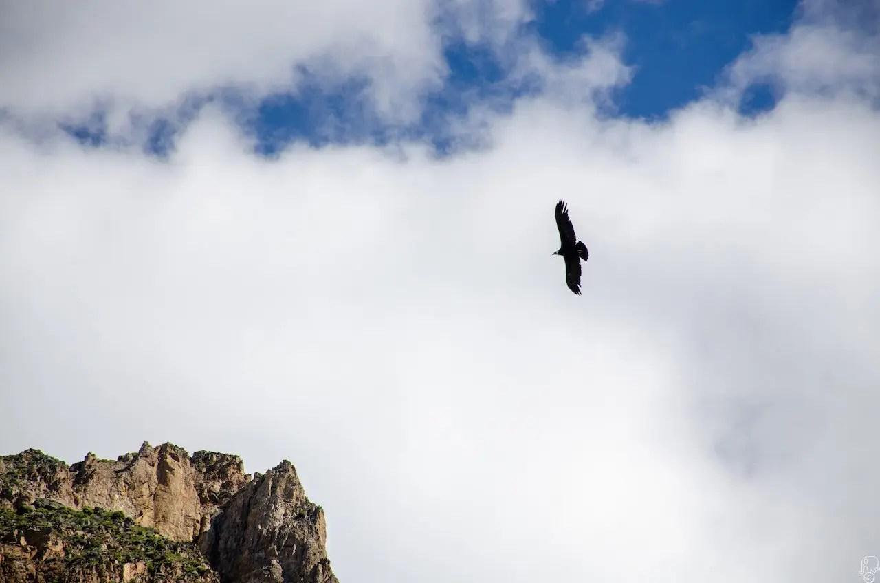 condor patagonia