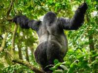 Reasons Why Tourists Don't Find Mountain Gorillas In The Zoo in Uganda!