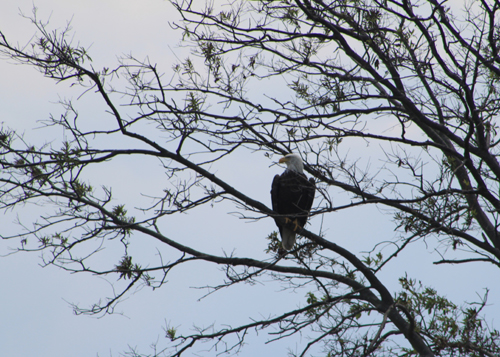 Bald Eagle on the Transquaking River