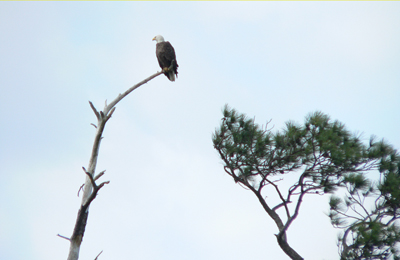 Bald Eagle - Blackwater Wildlife Refuge - Mindie Burgoyne