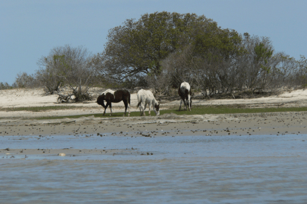 Assateague Wild Ponies
