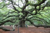 Angel Oak - 700 year old White Oak in Charleston, SC