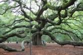 Angel Oak - 700 year old White Oak in Charleston, SC