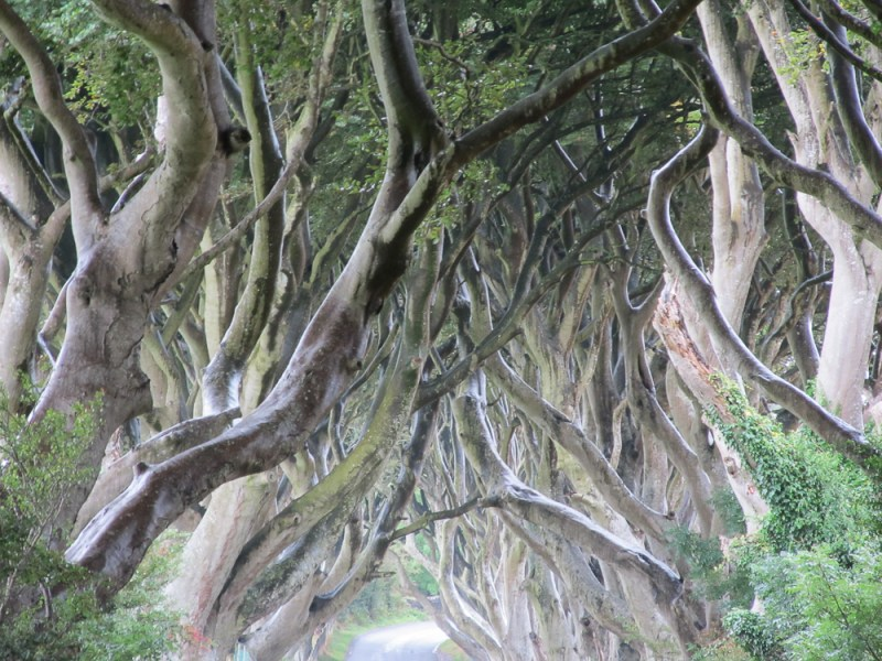 The Dark Hedges. Beech Trees in County Antrim, Ireland
