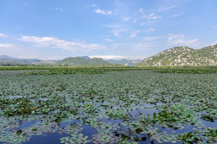 More water lilies; Lake Skadar, Montenegro.