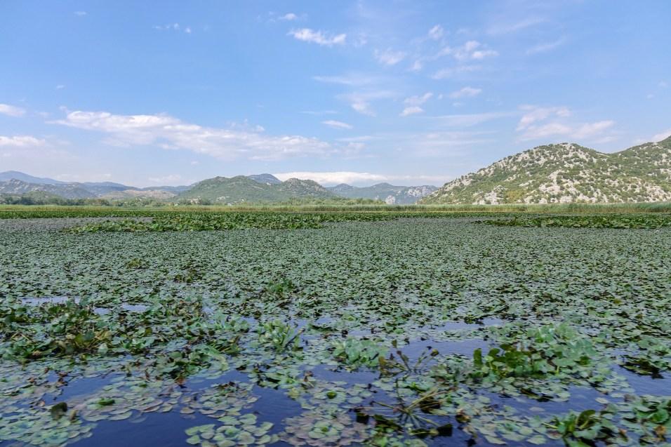 More water lilies; Lake Skadar, Montenegro.