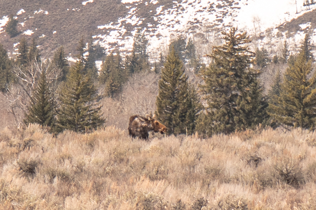 Grand Teton Road Trip Moose Sighting