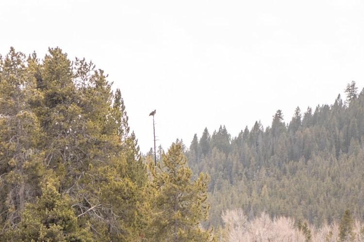 Grand Teton Road Trip Immature Bald Sighting Oxbow Bend