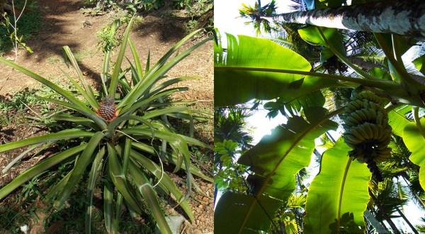 Goa Spice Plantation Tour